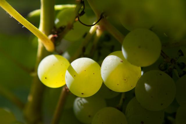 Vineyard-6